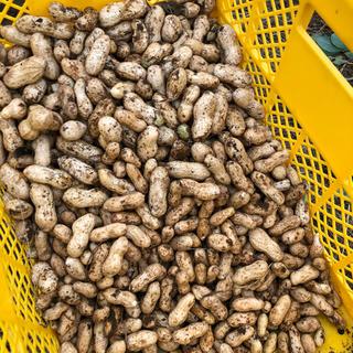 農薬不使用 生落花生 おおまさり 約1キロ(野菜)