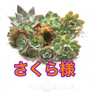 さくら様専用 多肉植物(その他)