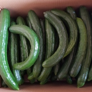 訳ありキュウリかつw《規格外5kg》(野菜)