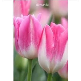 まこ様ご専用♡ロイヤルテンチューリップと可愛い小花の球根(その他)