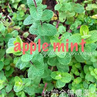 アップルミント オーガニック 秋苗 新芽 抜き苗 15本 売り切り(その他)