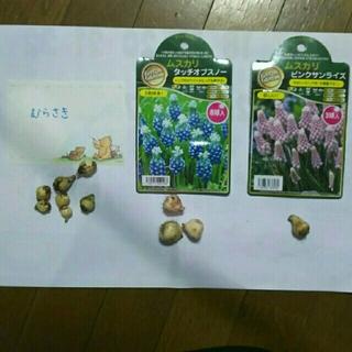 ムスカリ ★球根11球★ 紫&白青&ピンク(その他)