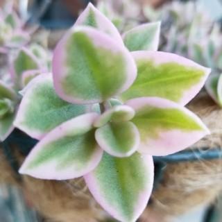 斑入りベビーサンローズカット苗   多肉植物(その他)