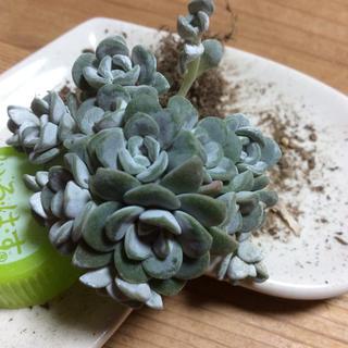多肉植物白雪ミセバヤ抜き苗(その他)
