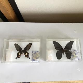 蝶々の標本(虫類)