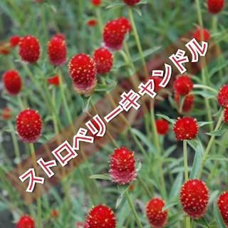 【ストロベリーキャンドル】種子10粒(その他)