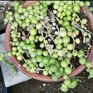 グリーンネックレス 多肉植物  植物 観葉植物 エケベリア サボテン(その他)