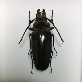 大型クワガタモドキ標本+ボール紙標本箱(虫類)