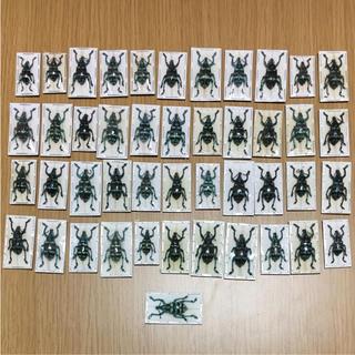 ホウセキゾウムシ標本45匹セット(虫類)
