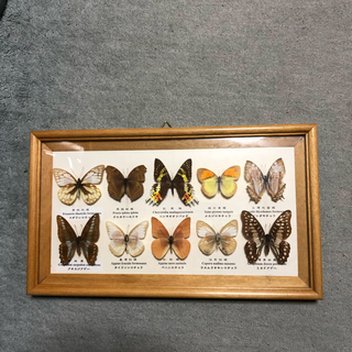 昆虫 蝶 標本(虫類)
