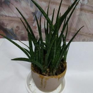 サンスベリア鉢植え(プランター)