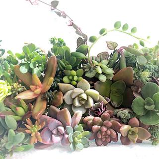 説明書付き 多肉植物 セダム カット苗 多種類詰め B 寄せ植えに ♡(その他)