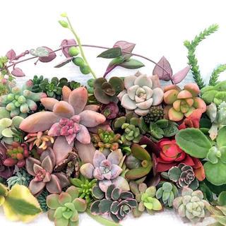 お値下 説明書付き 多肉植物 セダム カット苗 多種類詰め G 寄せ植えに ♡(その他)