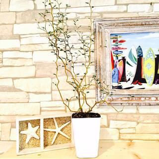15.大きくて立派な『メルヘンの木』不思議なジグザグ樹形(プランター)