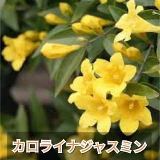 【カロライナジャスミン】イエロージャスミン種子10粒(その他)