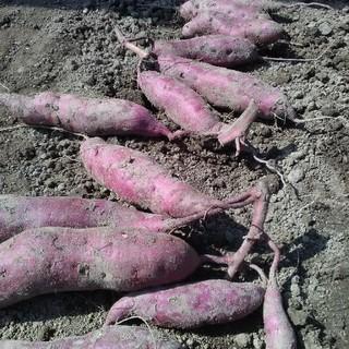 追熟済☆加工に最適☆自然農法のさつまいもパープルスイートロード(野菜)