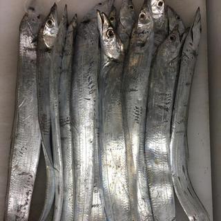 タチウオ 25匹(魚介)