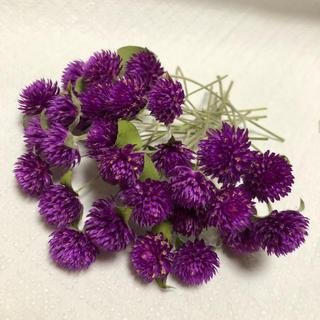 ハーバリウム花材ドライフラワーセンニチコウ(ドライフラワー)