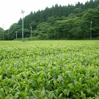 2018年産 やぶきた 無農薬 オーガニック 新茶(茶)