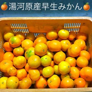 訳あり★産直不揃い10kg箱込み★神奈川県湯河原産🍊早生みかん🍊①(フルーツ)