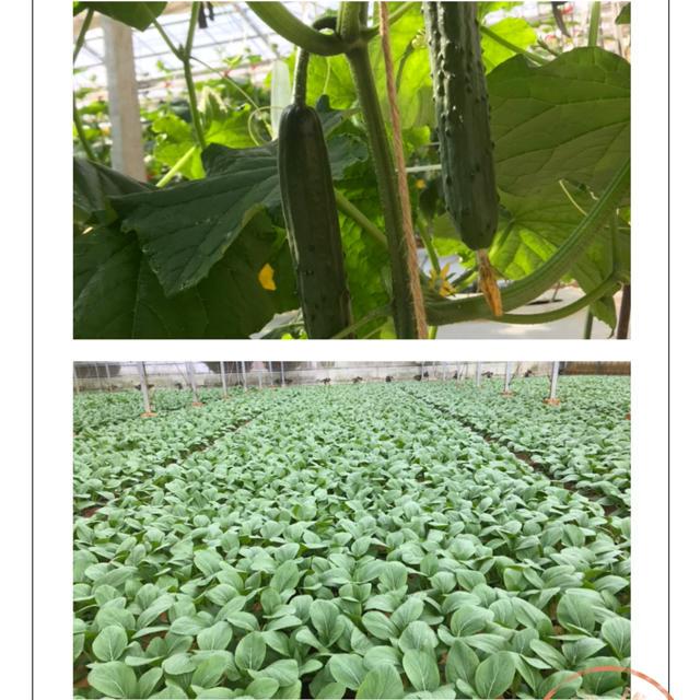 チンゲン菜2.5キロとキュウリ 食品/飲料/酒の食品(野菜)の商品写真