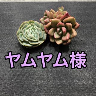 ヤムヤム様専用♡多肉植物(その他)
