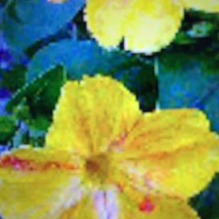 ピンクと黄色が混ざった白粉花の種10粒(その他)