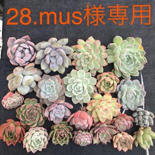 28.mus様専用  多肉植物(その他)