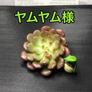ヤムヤム様専用  多肉植物(その他)