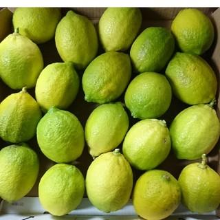 グリーンレモン 国産レモン 自家栽培 コンパクト箱サイズ(フルーツ)
