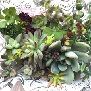 19種類 多肉植物✨カット苗セット✨(その他)