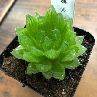 多肉植物 ハオルチア 櫻水晶 桜水晶(その他)