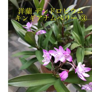 洋蘭 蘭 / 蘭苗 デンドロビウム ③ キンギアナム ベリー苗 (芳香有り)(プランター)