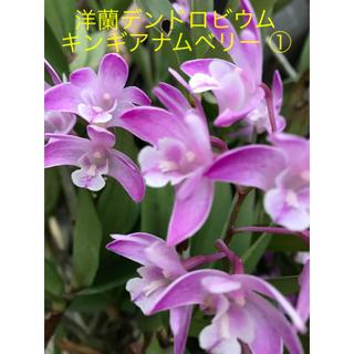 洋蘭 蘭 / 蘭苗 デンドロビウム ① キンギアナム ベリー苗 (芳香有り)(プランター)
