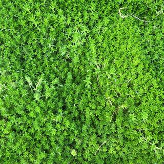 緑の絨毯(*ˊ˘ˋ*)♪多肉植物☆セダム☆抜き苗(その他)