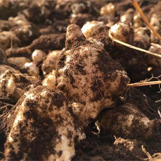 菊芋1キロ 天然のインスリン 生菊芋が出回るのは今の時期だけ(野菜)