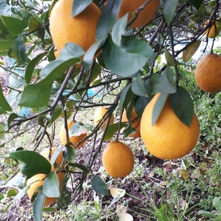 国産無農薬 マイヤーレモン 5kg 訳あり(フルーツ)