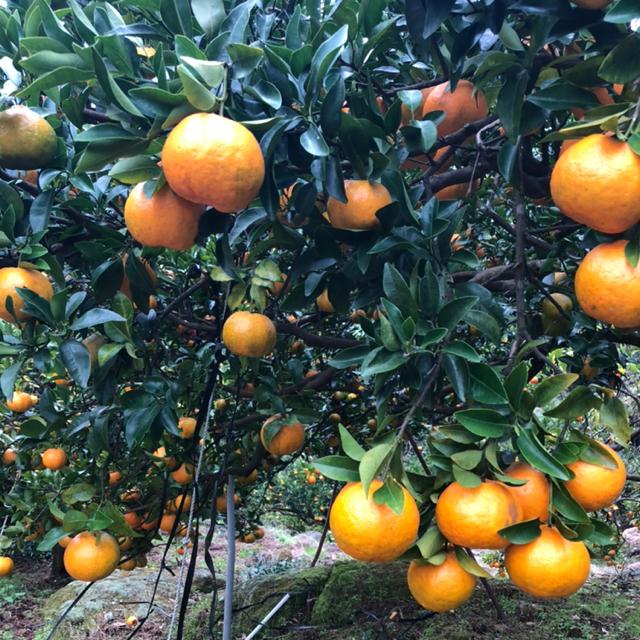 ポンカン 鹿児島県産 初物 食品/飲料/酒の食品(フルーツ)の商品写真