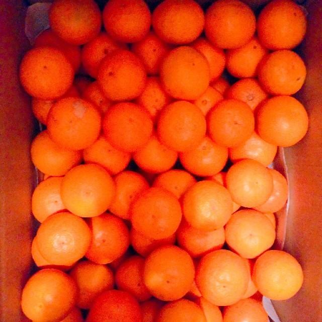 和歌山美味しい有田みかん(小玉) 食品/飲料/酒の食品(フルーツ)の商品写真