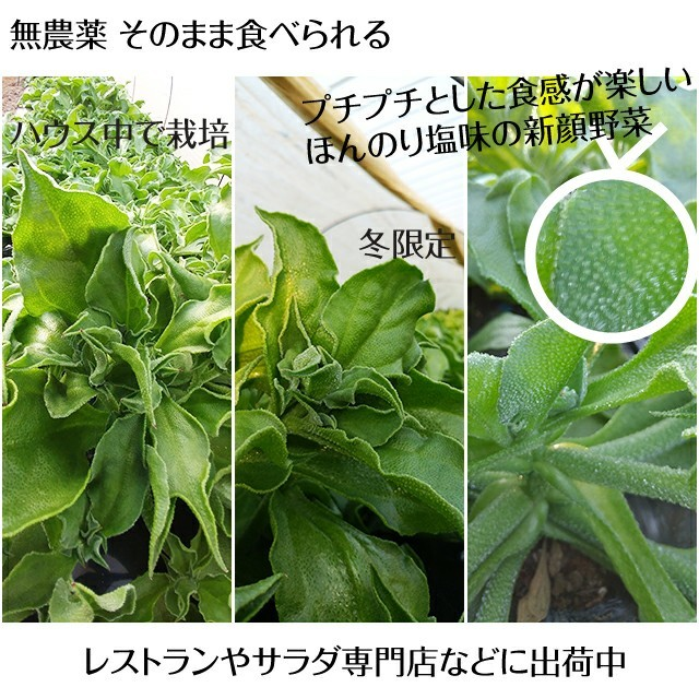 《無農薬野菜》アイスプラント 食品/飲料/酒の食品(野菜)の商品写真