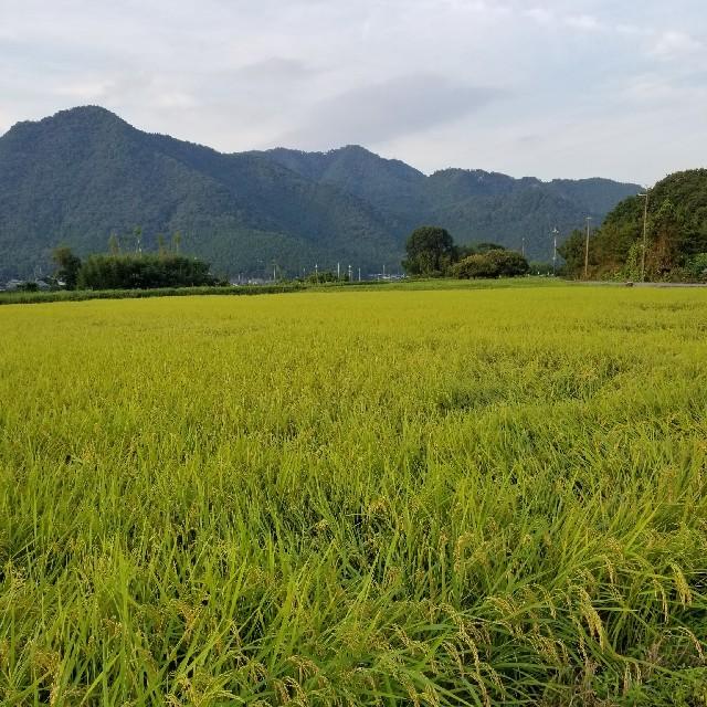 平成30年度兵庫県丹波産 無農薬コシヒカリ10キロ 食品/飲料/酒の食品(米/穀物)の商品写真