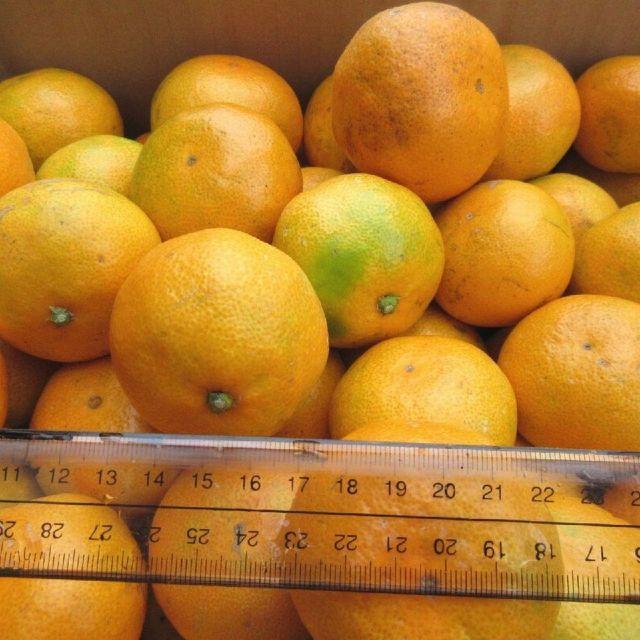 10kg みかん 🍊訳あり 湯河原みかん ご家庭用 不選別 産地直送 蜜柑 食品/飲料/酒の食品(フルーツ)の商品写真