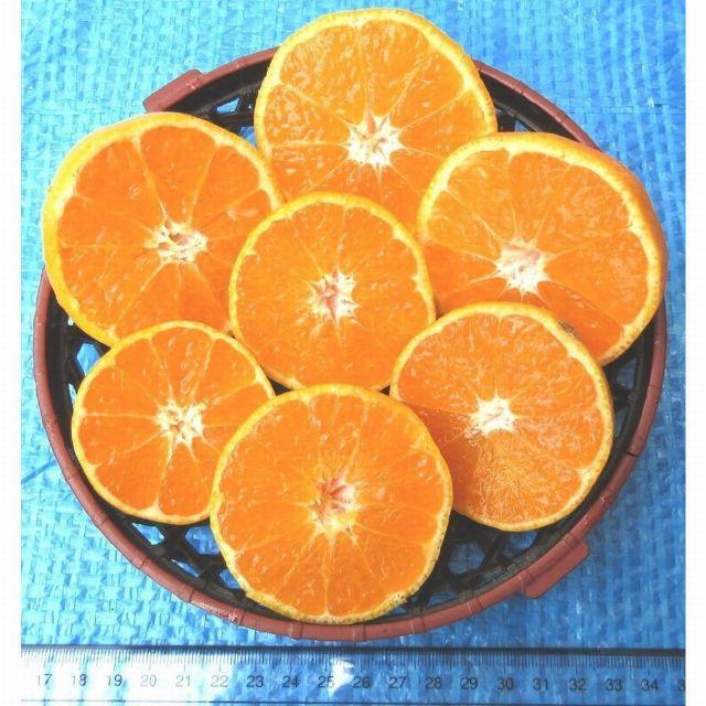 10㌔ みかん 🍊訳あり 湯河原みかん ご家庭用 不選別 産地直送 蜜柑 食品/飲料/酒の食品(フルーツ)の商品写真