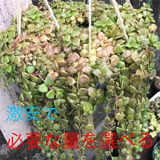 多肉植物 プロストラーツス(その他)
