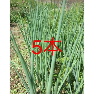 九条ネギ葉なし カット苗(野菜)