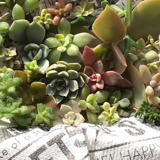 多肉植物✨カット苗セット✨(その他)