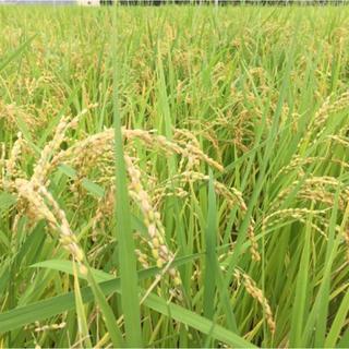 静岡県産 新米(米/穀物)