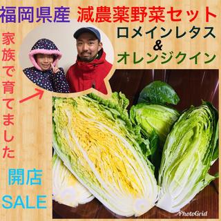 開店セール♡オレンジ色の白菜オレンジクイン➕マヨネーズCM話題ロメインレタス(野菜)