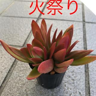 ★★火祭り★カット苗★多肉植物★★(その他)