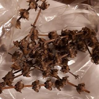 ホーリーバジルの種 約200粒(野菜)
